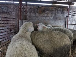 ovce - STOKA